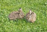 two little hares