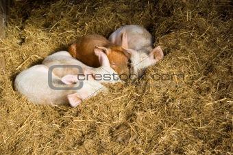 Baby pigs sleeping in hay