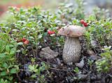 Mushroom in branch of the cowberry