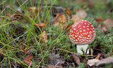 Poisonous red mushroom