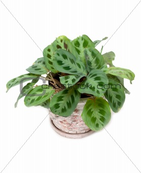 Green home flower in pot