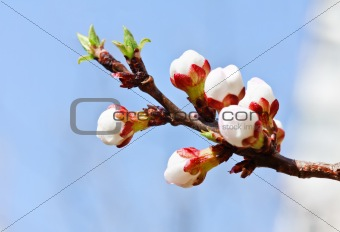 Branch with pink cherry buds in spring