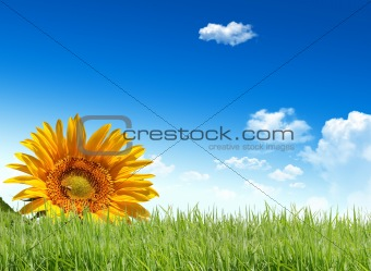 Beautiful Sunflowers over lawn and blue sky