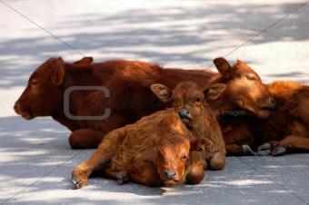 Calf families