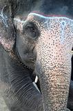 Closeup view of an Asian elephant