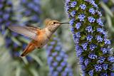 Allen&#39;s Hummingbird (Selasphorus sasin)