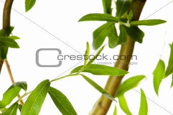 Tree branch with leaves isolated on white