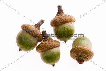 Acorns isolated on white