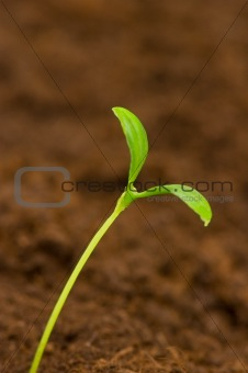 One green seedling growing out of soil