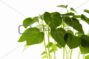 growing plants. beans