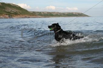 Black labrador in the sea