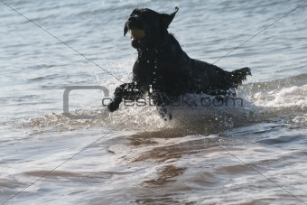 Black labrador in the sea
