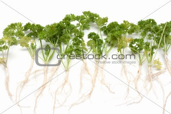 Green parsley with root