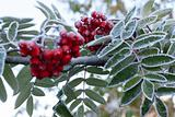 Rowanberry covered rime