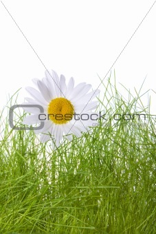 camomile and grass