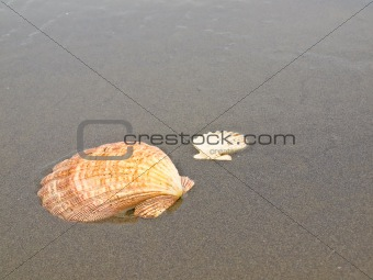 Scallop Shells on a Wet Sandy Beach