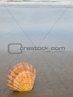 Scallop Shell Sticking Up in the Sand at the Water's Edge of a Beach