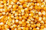 Bright corn kernels arranged as the background