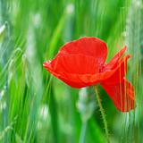 Single red poppy