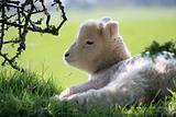Exmoor lamb