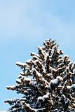 Winter snow covered fir trees