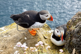 Puffins on the rock - Latrabjarg, Iceland