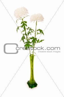 Chrysanthemum (mums) in green vase isolated on white