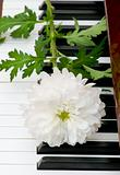 White Chrysanthemum (mums) on the musical piano