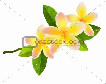 Frangiapani flowers