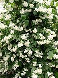 Big bush  jasmine.