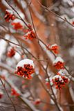 Rowan tree in winter