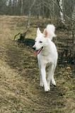 White dog running on a wood