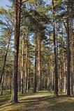 Pine wood