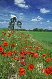 meadow and blossoming red poppies