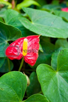 Anthurium flowers.