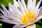White lotus bloom fully.