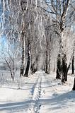 Birch grove