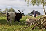 village goat