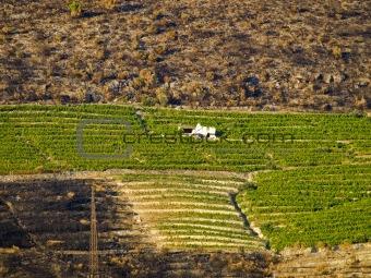 Savung the vineyard
