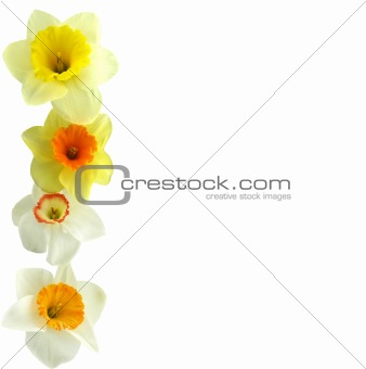 Daffodil On the Left
