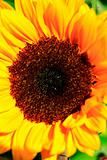 Close up yellow sunflower