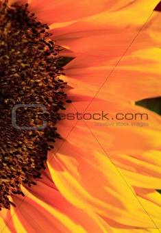 Close up of the florets and petals of a sunflower