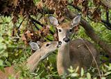 Whitetail Doe With Fawn (Odocoileus virginianus)