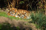 Tigers at Disney's Animal Kingdom