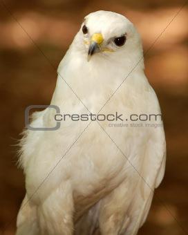 Albino Hawk