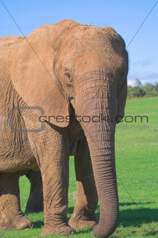 Female Elephant