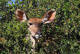 Kudu Female in the African Bush
