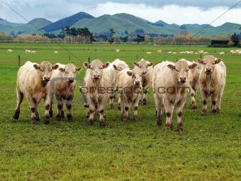 Small Herd of Charolais