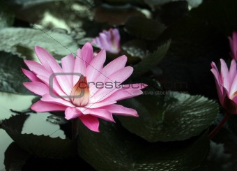 Pink water-lily and its reflection. Sochi, Russia.