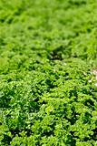 Parsley Field